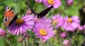 Schmetterlingsgarten diese pflanzen liefern nektar und for Pflanzen liefern